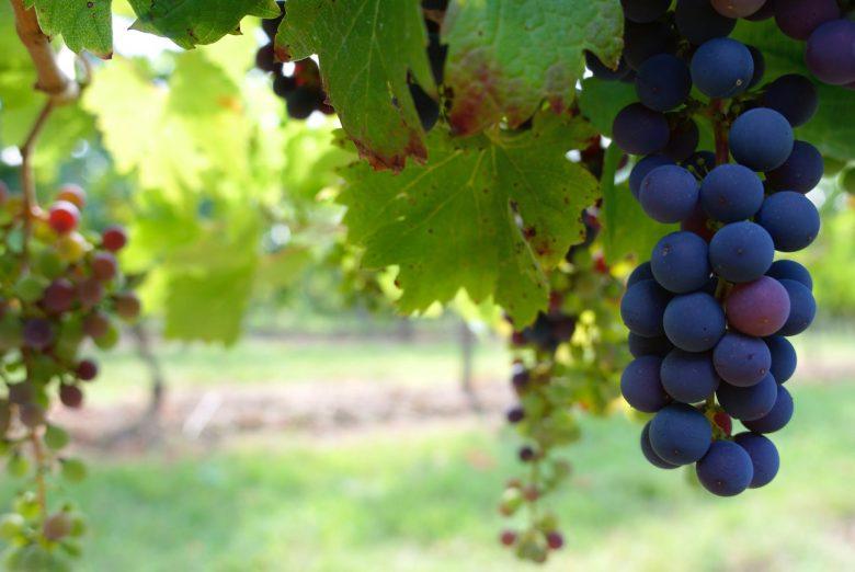 """The Grapes : Progressive Farmers' """" New LOVE """" In Punjab-Pakistan"""