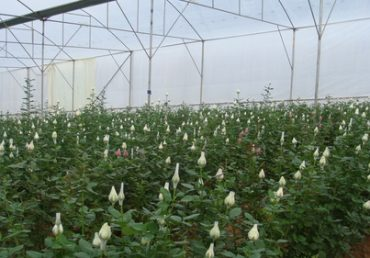 Top EU Rose breeding now under one roof in Argentina – Greenworks