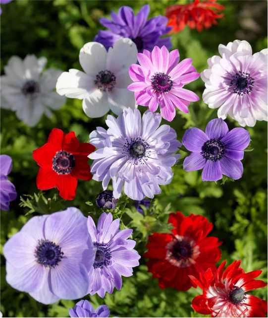anemone-1.jpg