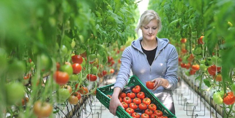 British Tomato growers demand a level playing field – Greenworks