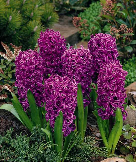 hyacinthus-1.jpg