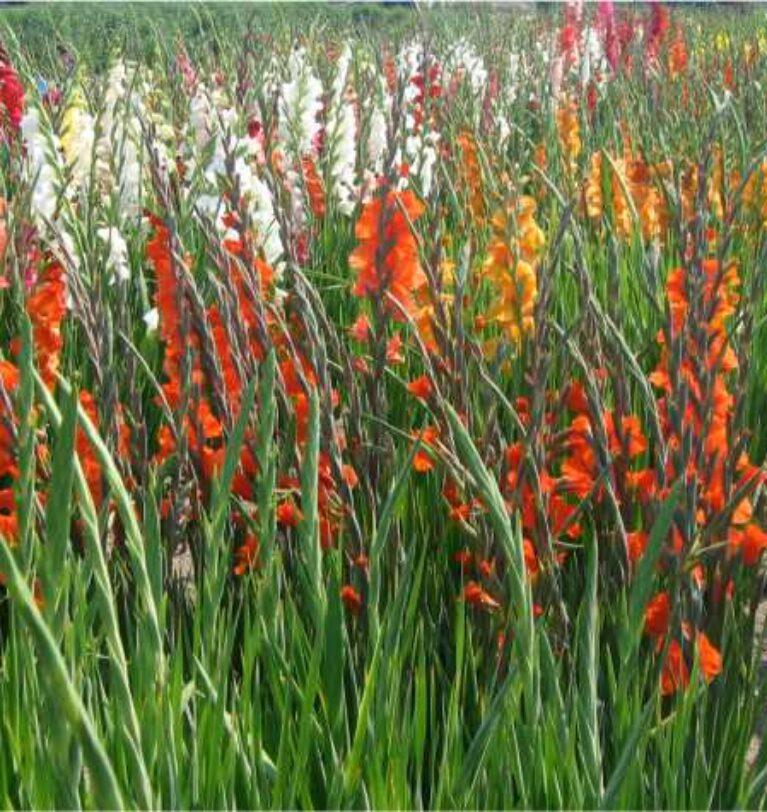 Cultivation of bulbous flowers in Pothohar Region – Greenworks
