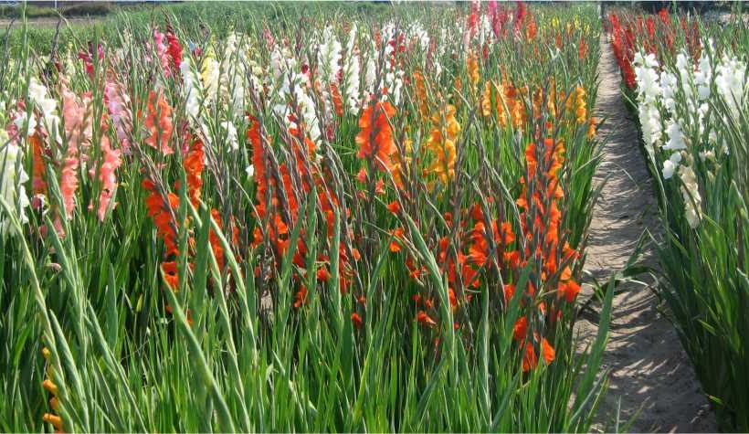 Cultivation of bulbous flowers in Pothohar Region – Greenworks