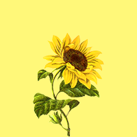 sunflower-1.png