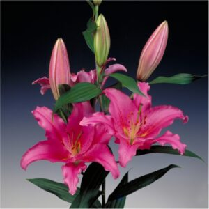 lilies-flower-bulbs-greenworks-Pakistan