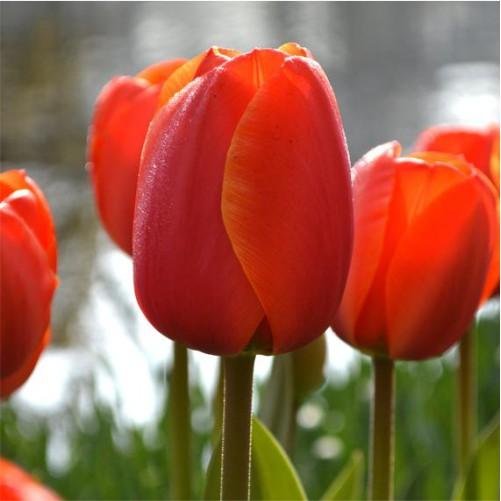 tulip-flower-bulbs-greenworks-Pakistan