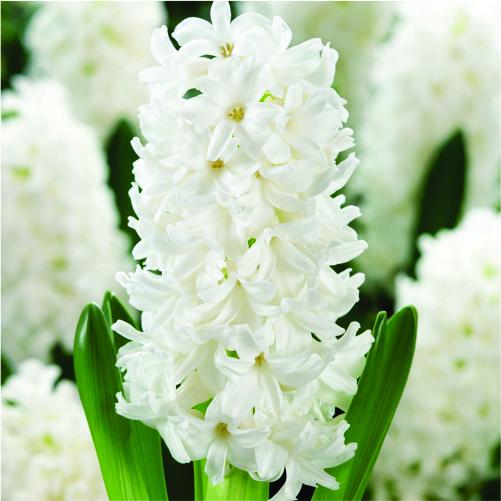hyacinths-flower bulbs-greenworks-Pakistan