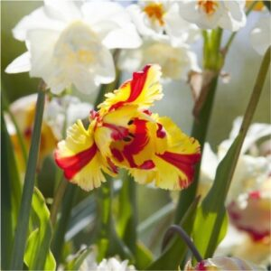 Broadway-star-daffodils-flower bulbs-greenworks-Pakistan