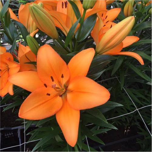 lilies-flower-bulbs-greenworks-Pakistan