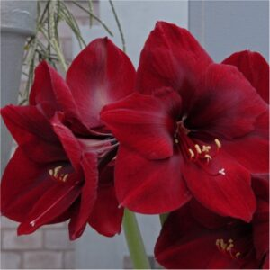 amaryllis-flower-bulbs-greenworks-Pakistan