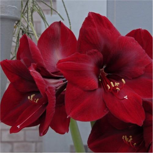 amaryllis-flower-bulbs-greenworks-Pakistan