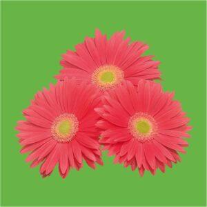 Corel series Gerbera flowers by greenworks-pakistan