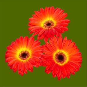 gerbera flower seeds