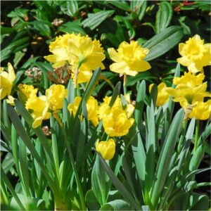 dutch-master-daffodils-flower bulbs-greenworks-Pakistan