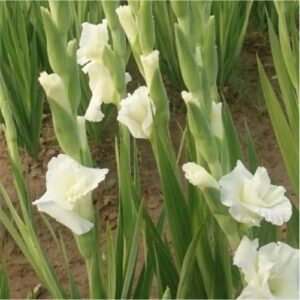 gladiolus-flower-bulbs-greenworks-Pakistan