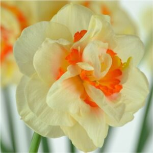 flower-daffodils-flower bulbs-greenworks-Pakistan