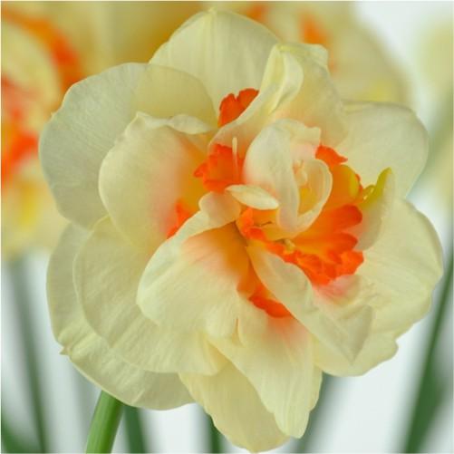 flower-daffodils-flower bulbs-greenworks-Pakistan