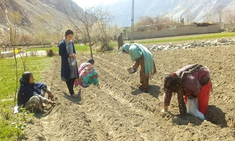 gladiolus flowers plantation in GB-Pakistan