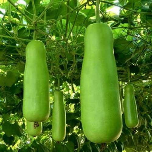 gourd-f1-hybrid-greenworks-Pakistan