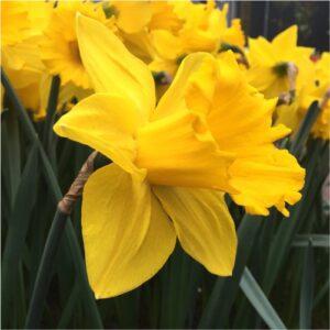 marieke-daffodils-flower bulbs-greenworks-Pakistan