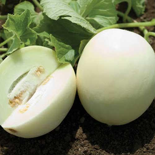 melon-f1-hybrid-greenworks-Pakistan