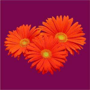 gerbera-flower-seeds
