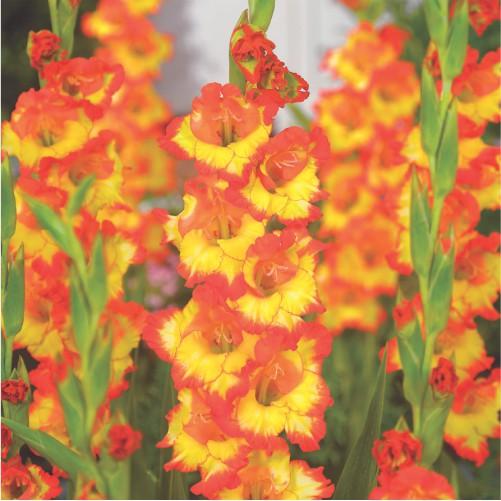 gladiolus-flower-bulbs-greenworks-Pakistan