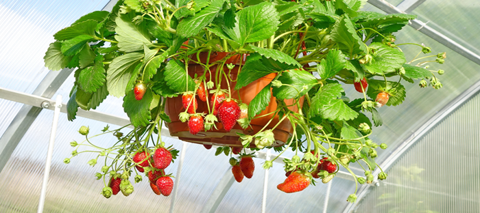 Strawberries hang too, like flowers