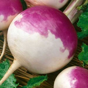 turnip-purple-top-f1-greenworks-Pakistan
