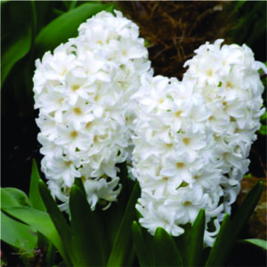 hyacinths-flower bulbs-greenworks-Pakistan