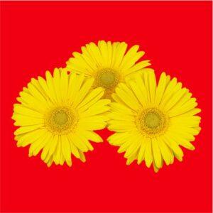 Gerbera Seeds Yellow