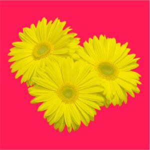 gerbera-flower seeds